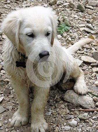 English Creme Golden Retriever Our 2 Year Old English Creme Gr