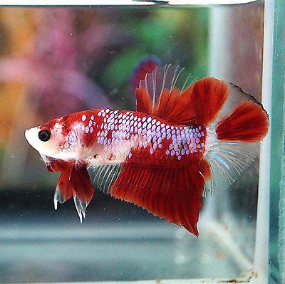 Live Betta Fish Male Fancy Koi Galaxy Milky Way Halfmoon Plakat Hmpk K2