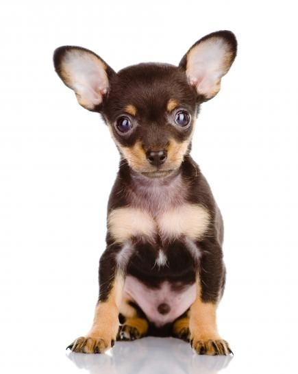 Lifestyle Advice More Dog Crossbreeds Toy Fox Terriers Hybrid Dogs