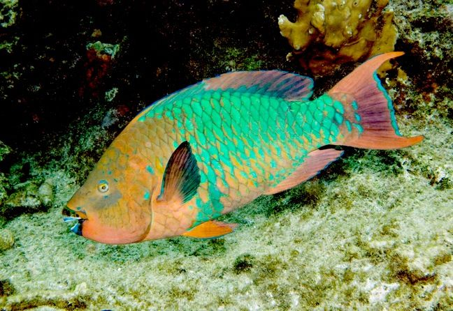 Rainbow parrotfish got certified in key west and would see for Rainbow parrot fish