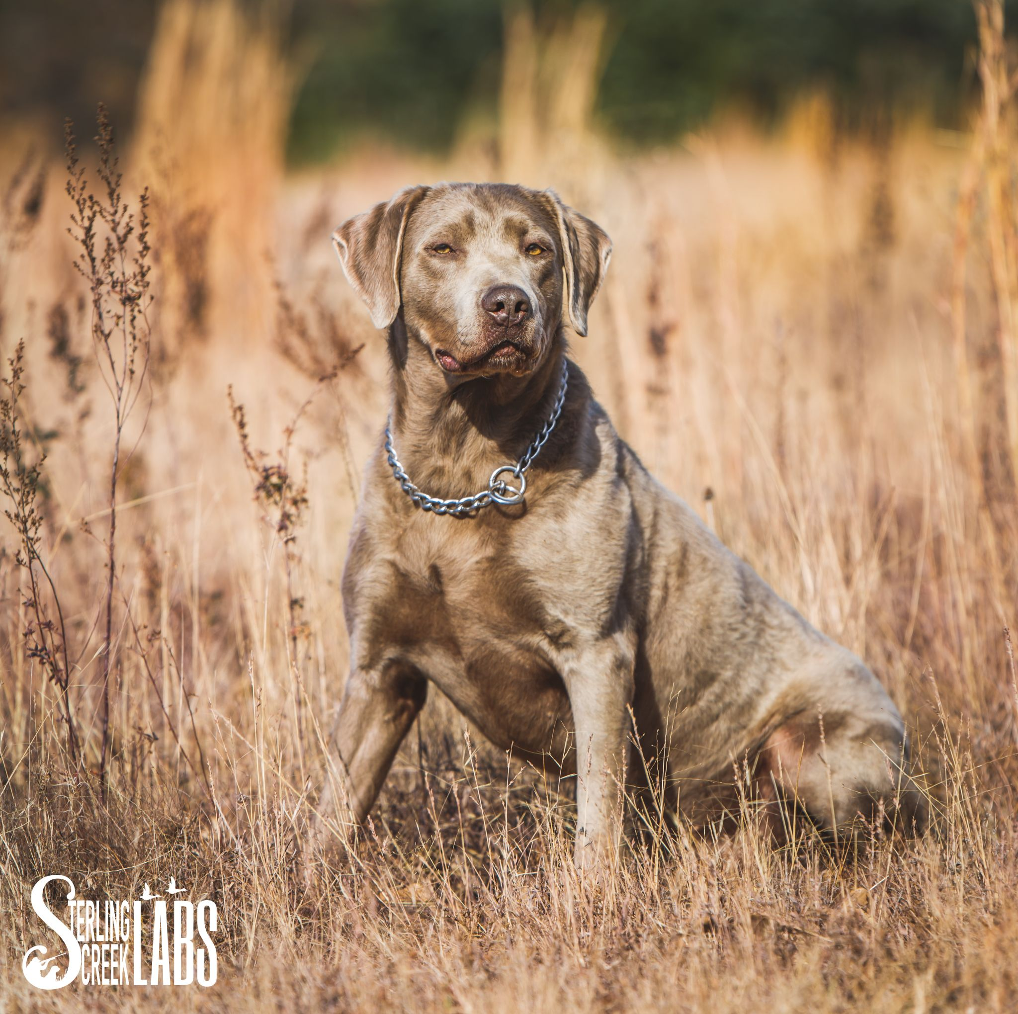 Image Result For Silver Lab Puppies For Sale In Jacksonville Fl Lab Puppies