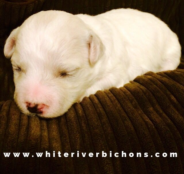 Arkansas Bichon Frise Puppies For Sale Www Whiteriverbichons Com