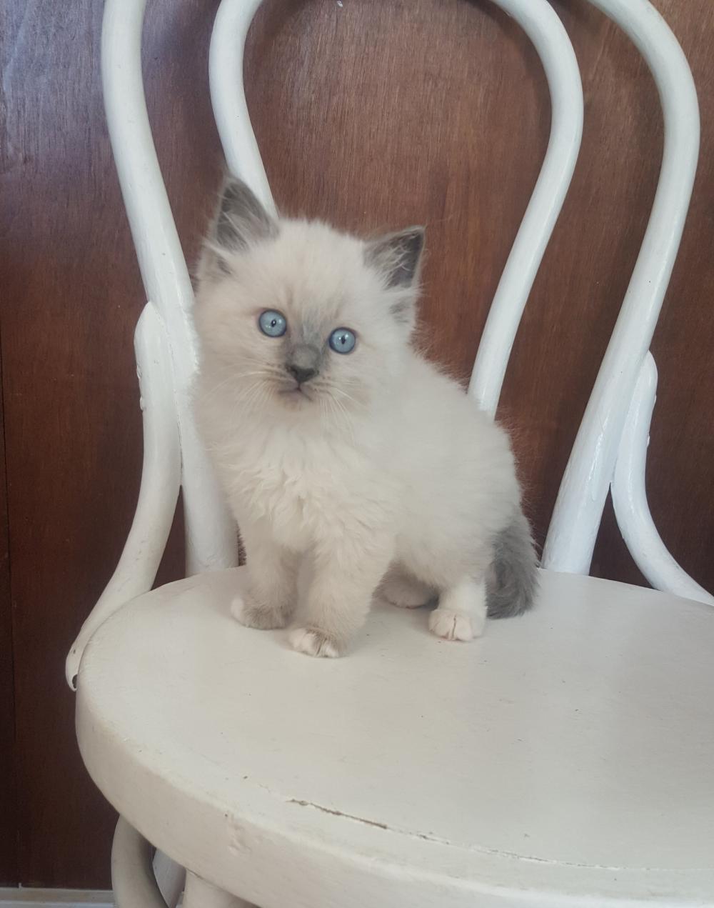 Available ragdoll kittens Kittens, Ragdoll kitten