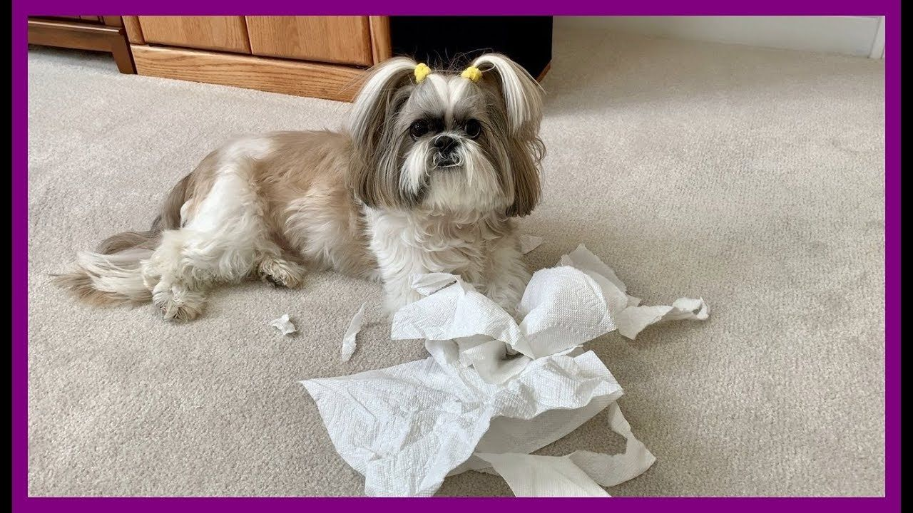 Lacey Our Silly Little Paper Shredder Shih Tzu Dog