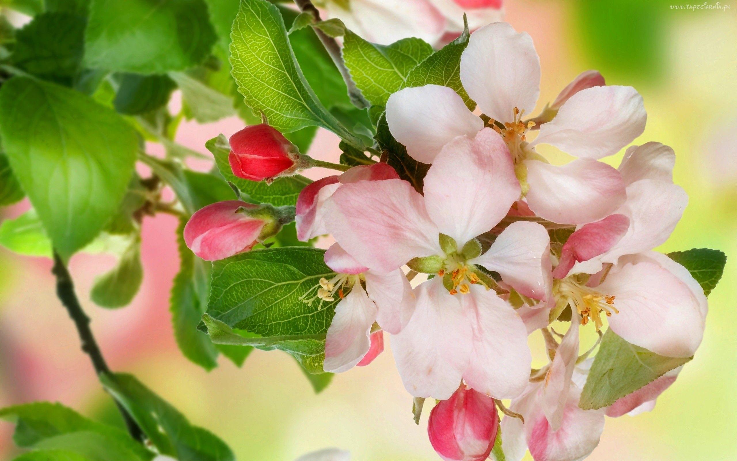 Wiosna Kwiaty Drzewo Owocowe Jablon Cherry Blossom Images Apple Tree Blossoms Spring Flowers