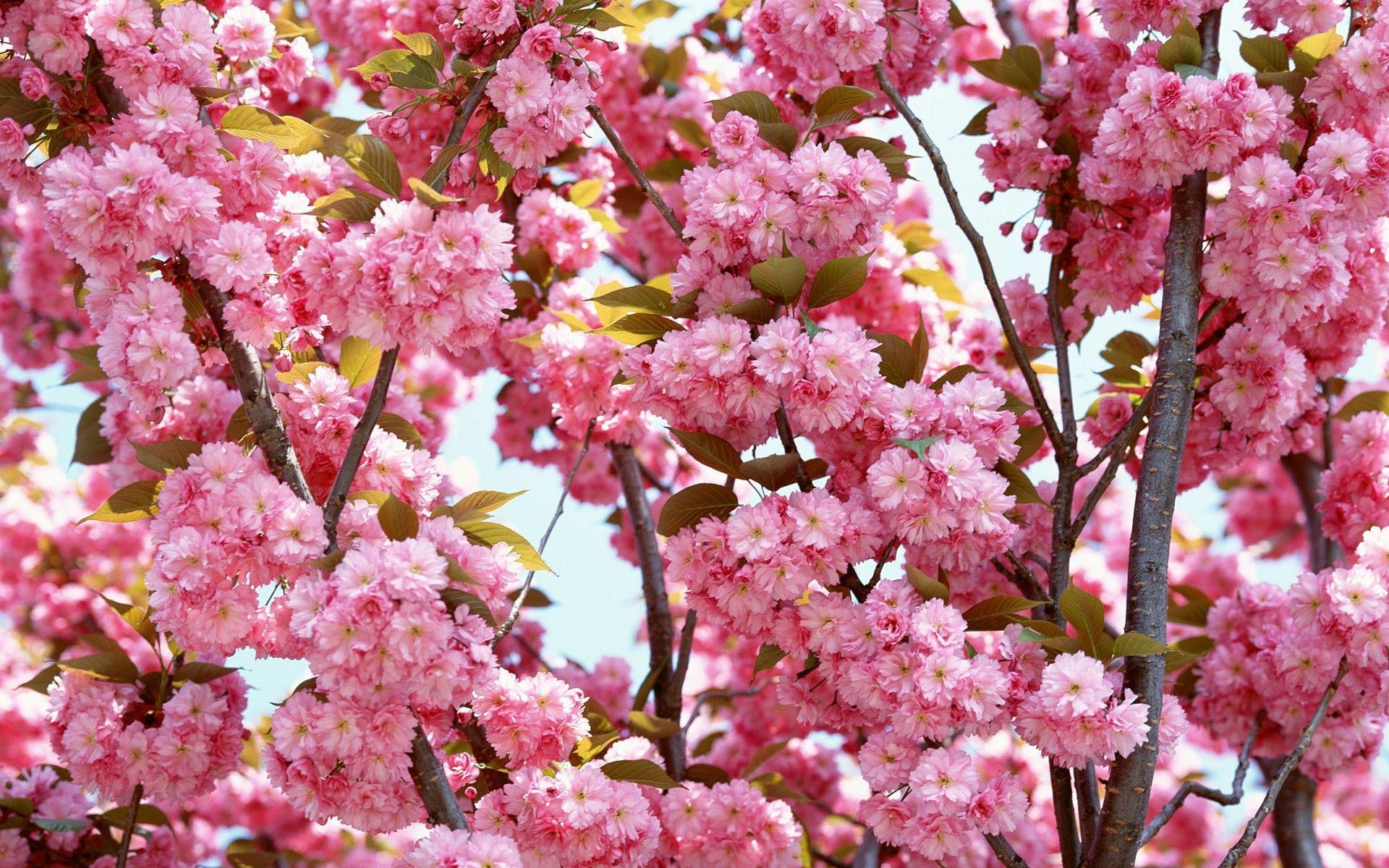 Beautiful Wallpaper Night Cherry Blossom - fbc3e44cba5b1213f3563d3daba37edf  Perfect Image Reference.jpg