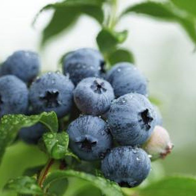 Breakfast is just steps away with backyard blueberries.