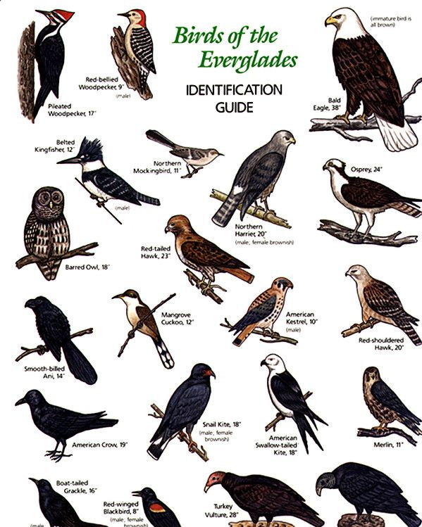 Different Types Hawk Birds Names Cloudberry Cake