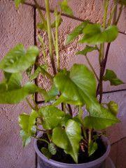planta boniato