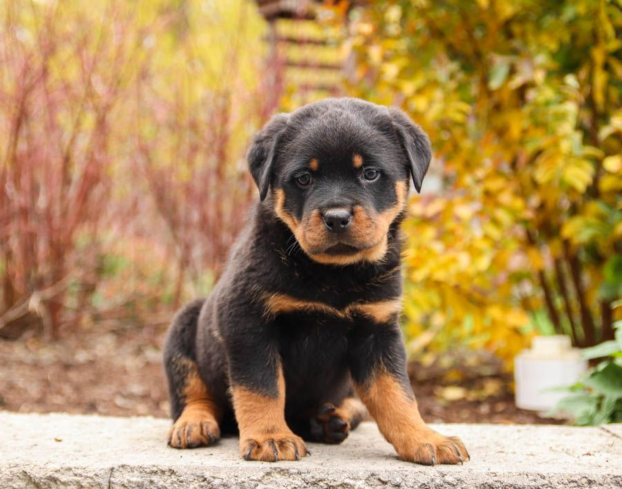 Loyal Playful Friendly These Beautiful Rottweiler