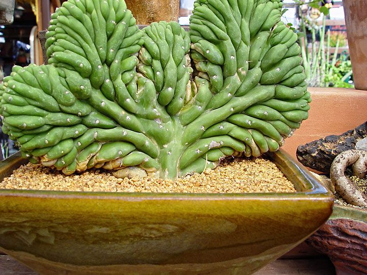 succulents this plant is insane looks like a cactus i 39 ve never seen one gorgeous. Black Bedroom Furniture Sets. Home Design Ideas