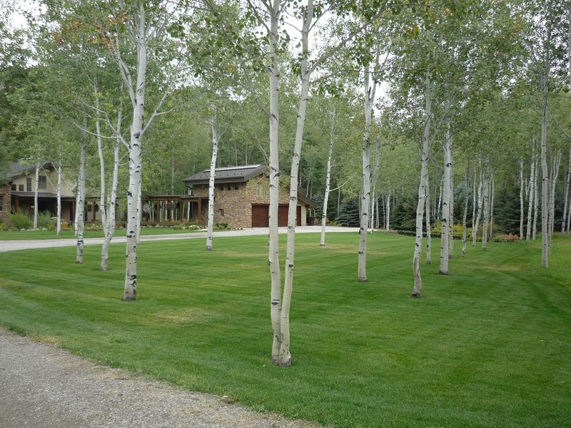 Quaking Aspen In A Traditional