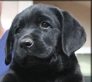 So Sweet Labrador Retriever Puppies Labrador Retriever Labrador
