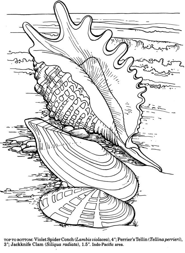 Dover shells to coloring pesquisa google adult for Shells coloring page