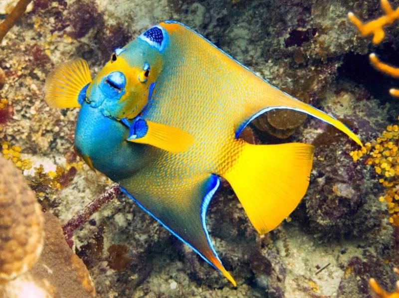 Aquarium Depot Saltwater Angelfish Tropical Fish Sea Creatures
