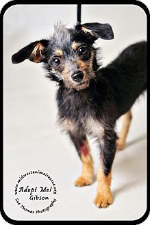 Gibson Dachshund Yorkshire Terrier Mix Minneapolis Mn Young