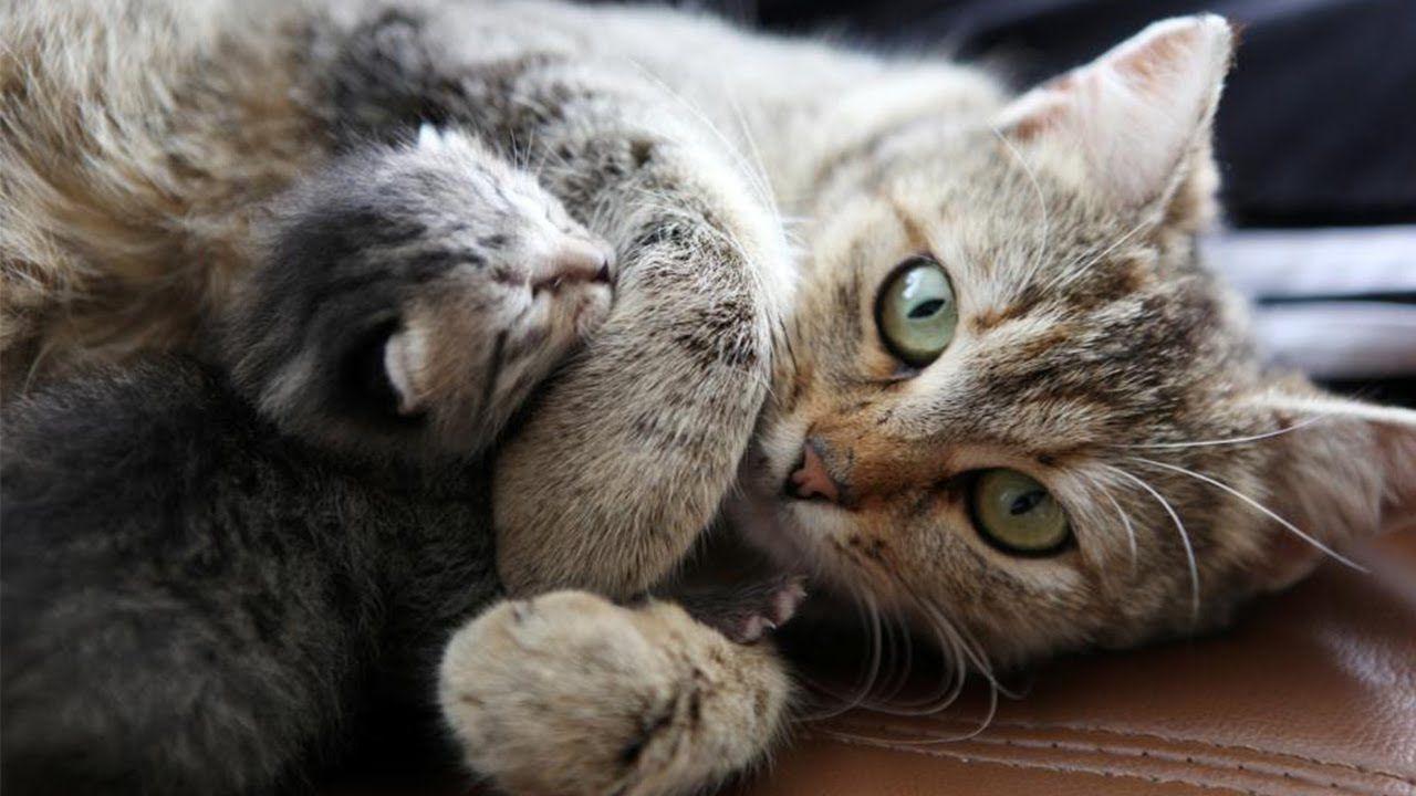Newborn Kittens Calling Their Cat Mom Newborn Kittens Purebred