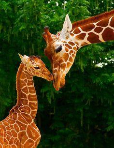 Why are giraffes so cute?