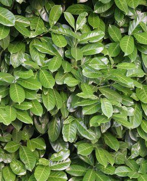 Sichtschutz: Die 12 besten Heckenpflanzen #sichtschutzpflanzen Kirschlorbeer Hecke Sichtschutz #sichtschutzpflanzen