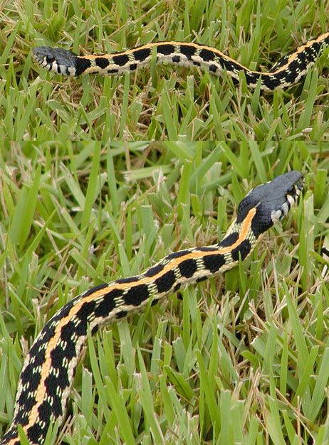 Black Necked Garter Snake Wow Never Saw One Like This Before