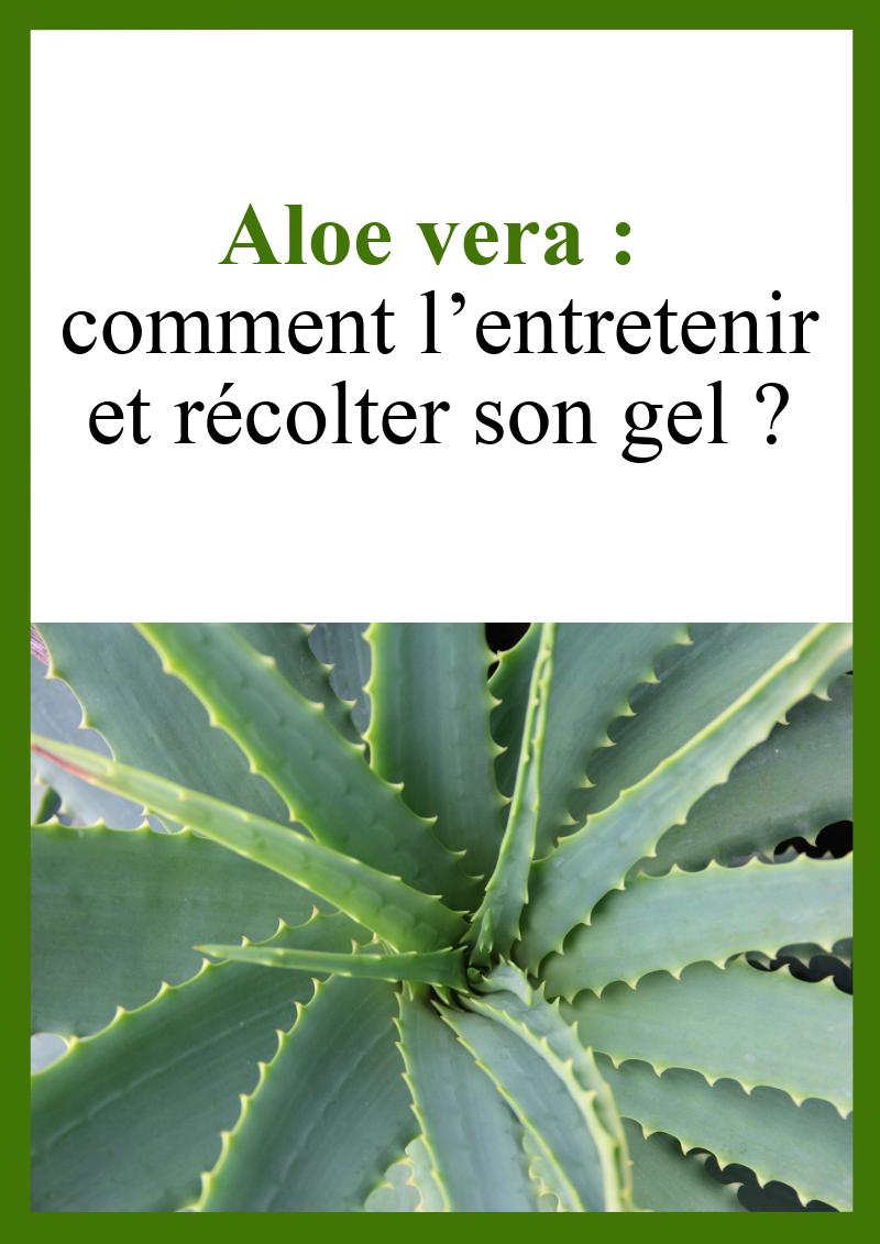 Comment Entretenir Une Plante Aloe Vera aloe vera : comment l'entretenir et récolter son gel
