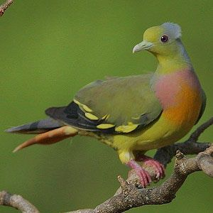 Pigeons and doves are beautiful birds, and this photo gallery of some of the world's most beautiful pigeons and doves features species worldwide with a wide range of colors and unusual markings. Each photo includes range information for the species and details about its beauty.: Orange-Breasted Green-Pigeon