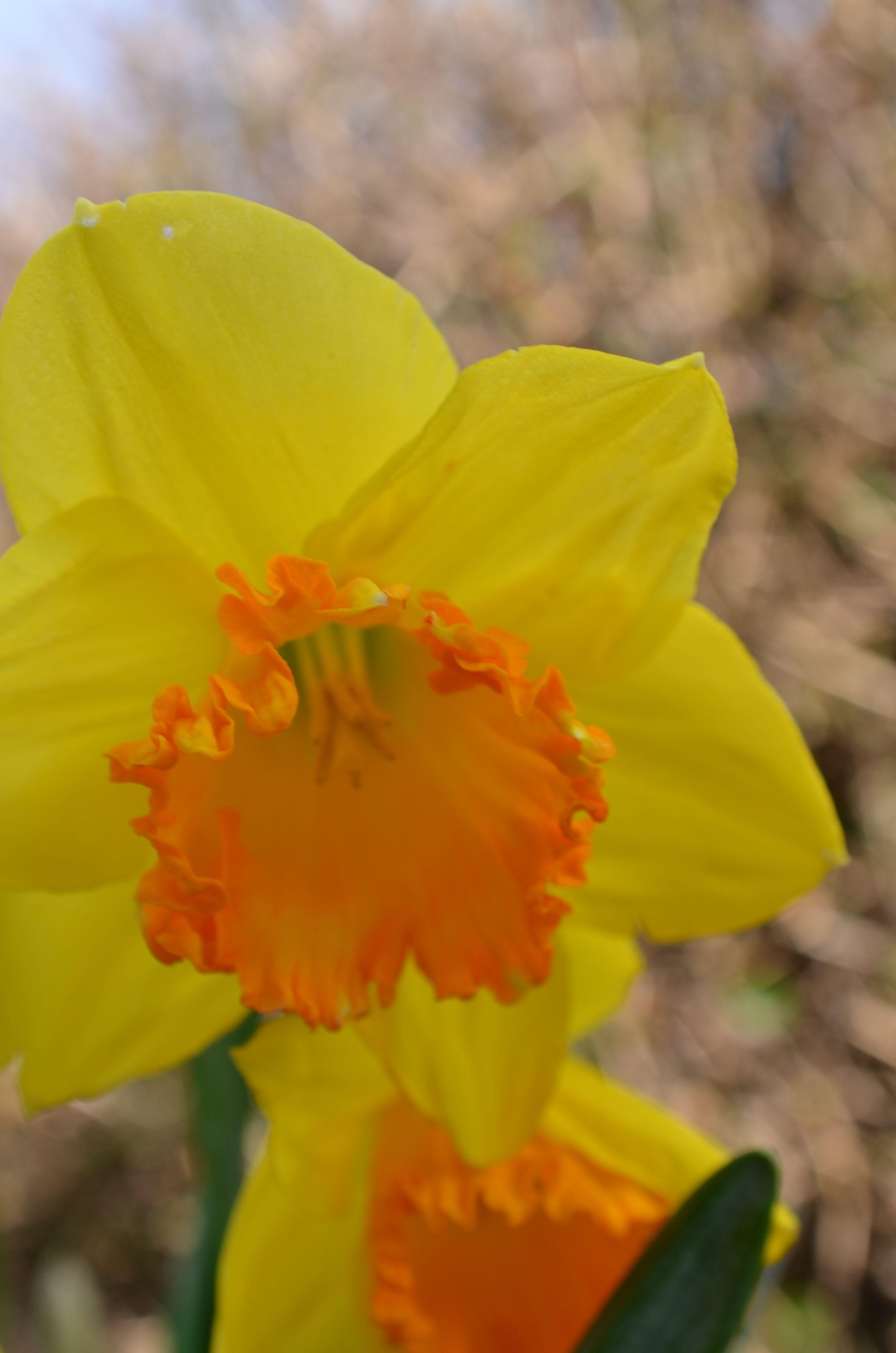 Daffodils Daffodils Pinterest Daffodils Flowers And Beautiful