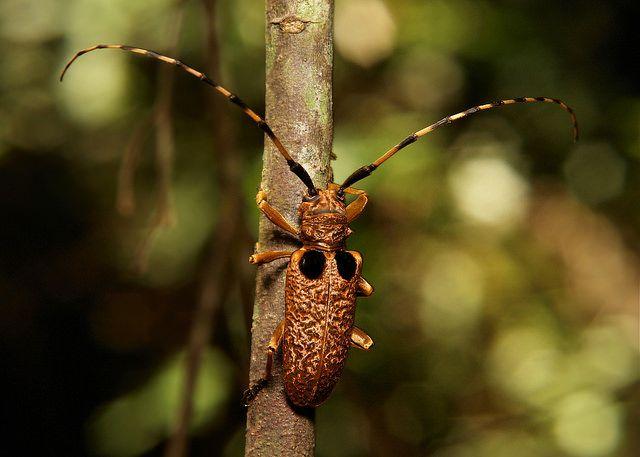 Longhorn Beetle@@