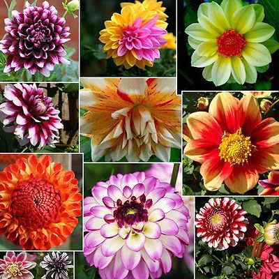 10pcs Dinnerplate Dahlia Mix Flower Seeds Early Blooming Bi Colors Seeds Flower Seeds