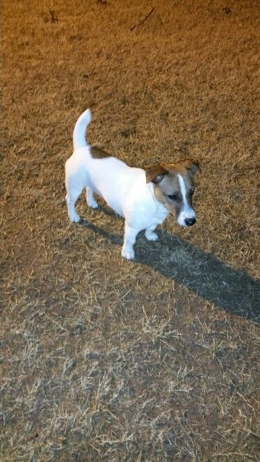 Ted The Little Man So Much Trouble He S Such A Ham Jack Russell Puppies Jack Russell Jack Russell Terrier