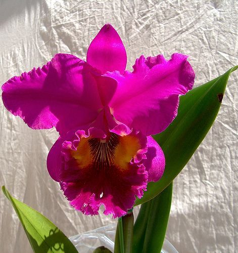 Orchids Blc King Of Taiwan Dashin 0433 Orchid Flower Cattleya Orchid Beautiful Orchids