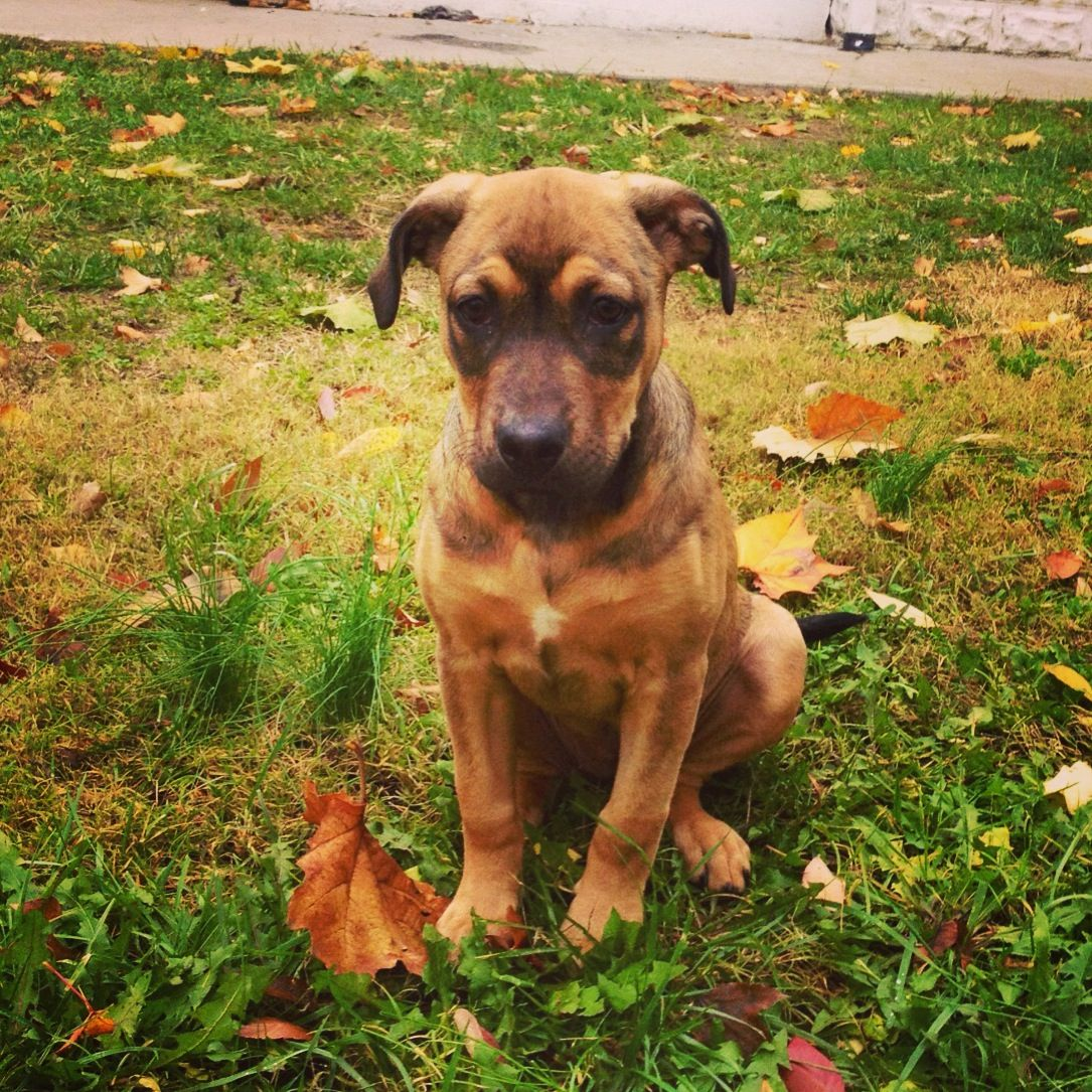 Rhodesian Ridgeback German Shepherd Mix Puppy German Shepherd Mix Puppies Shepherd Mix Puppies Puppies