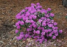 Back yard - Dwarf Purple Rhododendron - Bing images