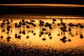 Silhuetas de graciosos flamingos nos arredores do Lobito. Província de Benguela. Angola - stock photo
