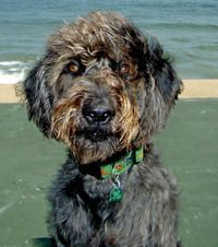 Labradoodle Mixed With German Shepherd Cute Dogs Gallery Labradoodle Cute Dogs Dog Lovers
