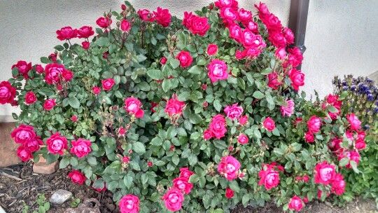 Springtime temperatures in the 50's and 60's make for happy roses...