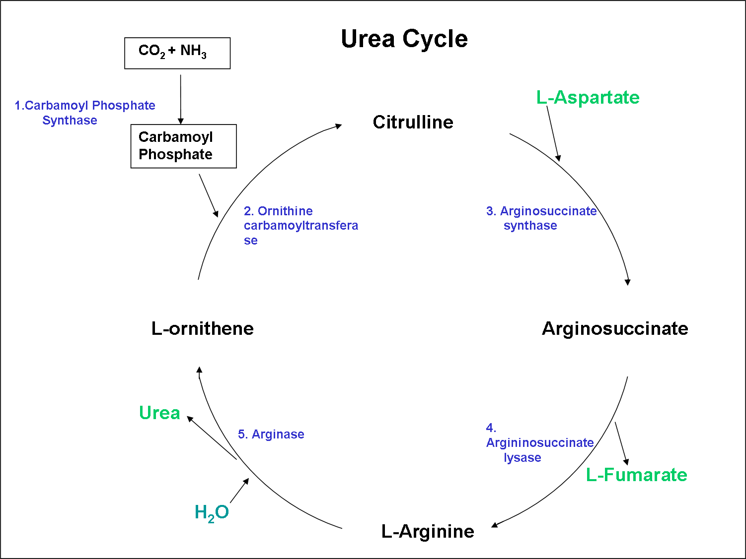 Urea Cycle Clear And Simple Mindmaps