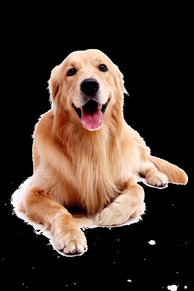 Golden Retriever Pictures by Age Dog Golden retriever