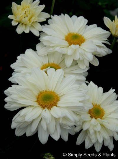 Daisy Power Whole Life Gardening Pretty Plants Hardy Mums Perennial Garden