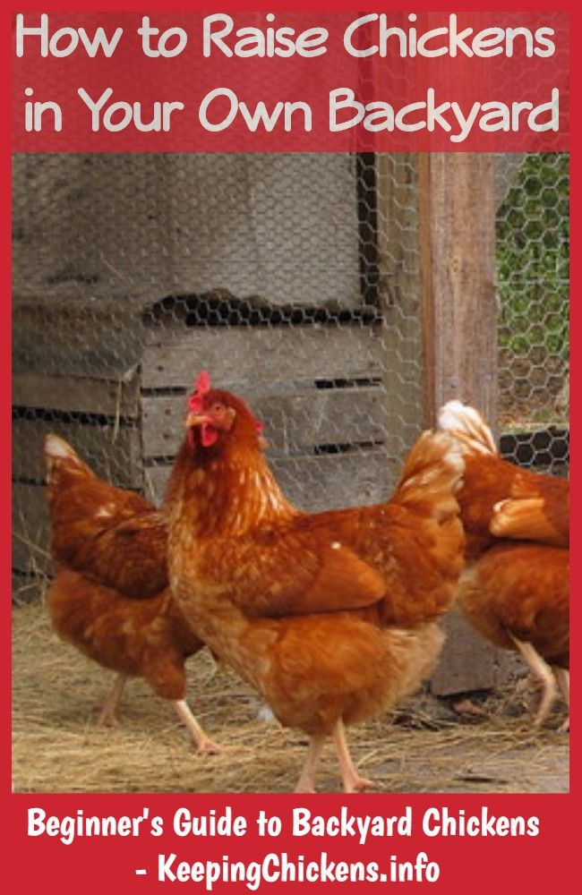 how to keep your chickens warm in winter (With images ...