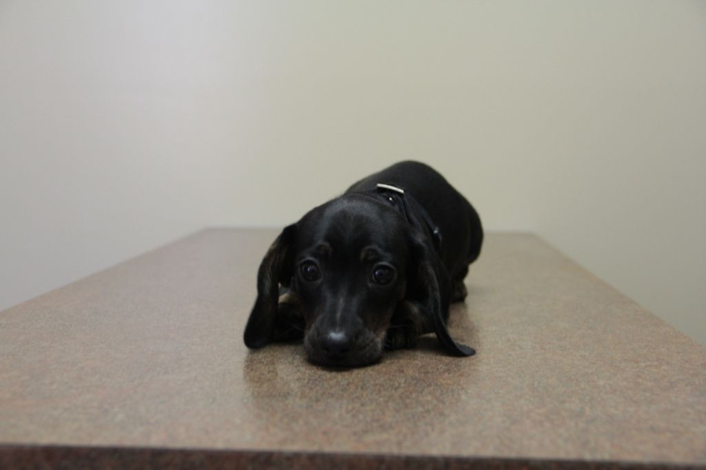 Blue at his first puppy visit with Dr. Schaller.