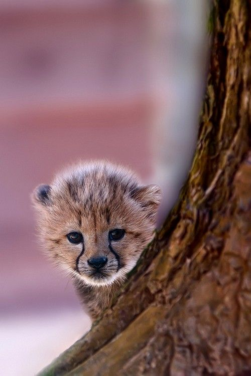 Cheetah cub by Kees Knook