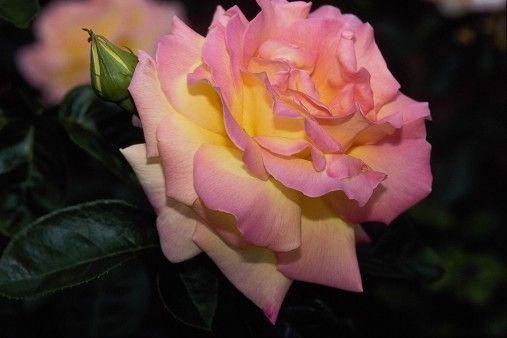 صورة وردة زهرية جميلة Photo Hd