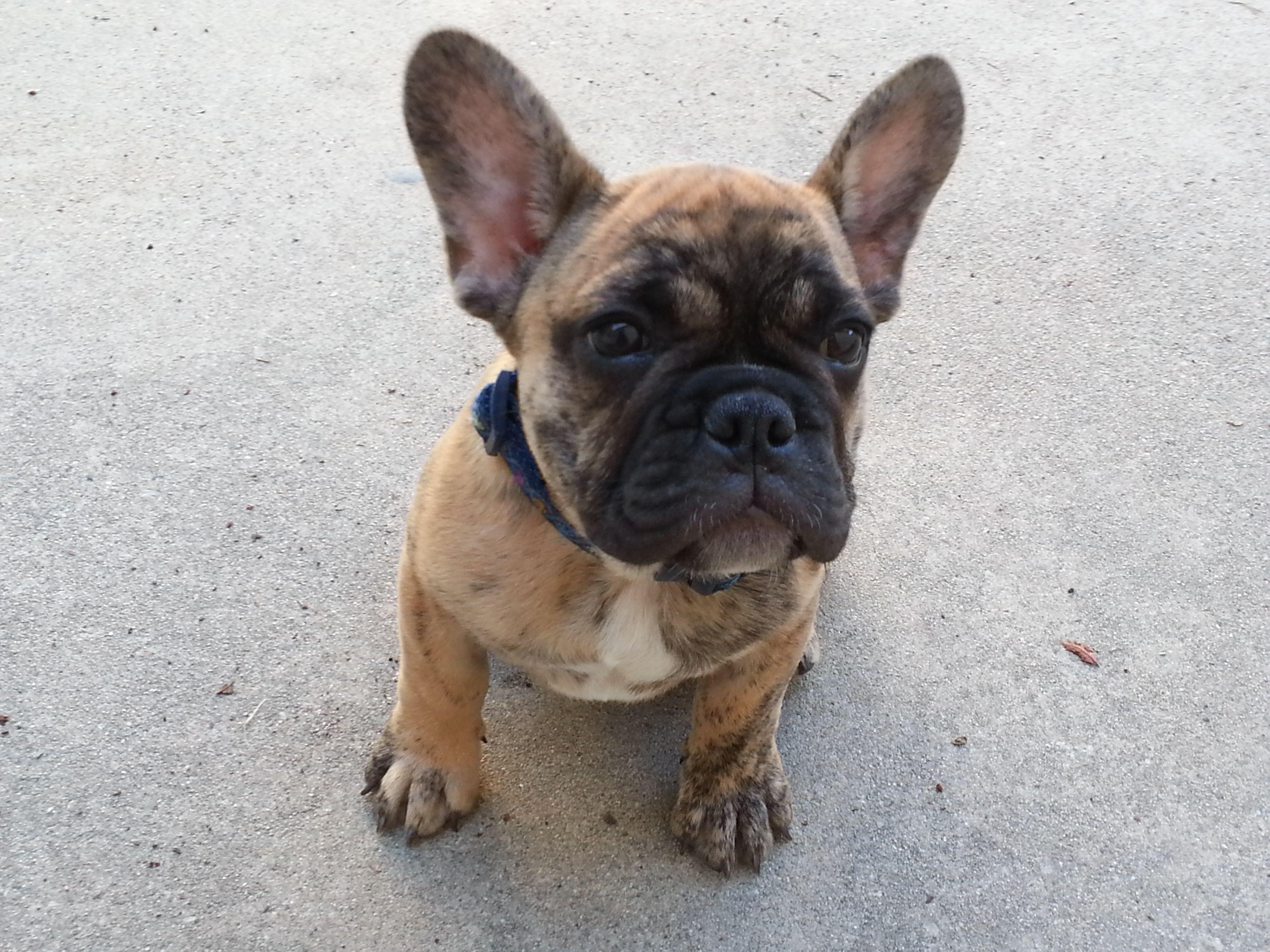 Elvis Oberon Huckabone At 11 Weeks Old French Bulldog French Bulldog Puppy Cute Animals