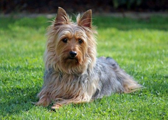 Australian Silky Terrier Silky Terrier Large Dog Breeds Dog Breeds