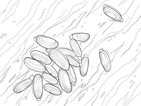 Pacific Razor Clam Coloring Page Coloring Pages Color Male Sketch