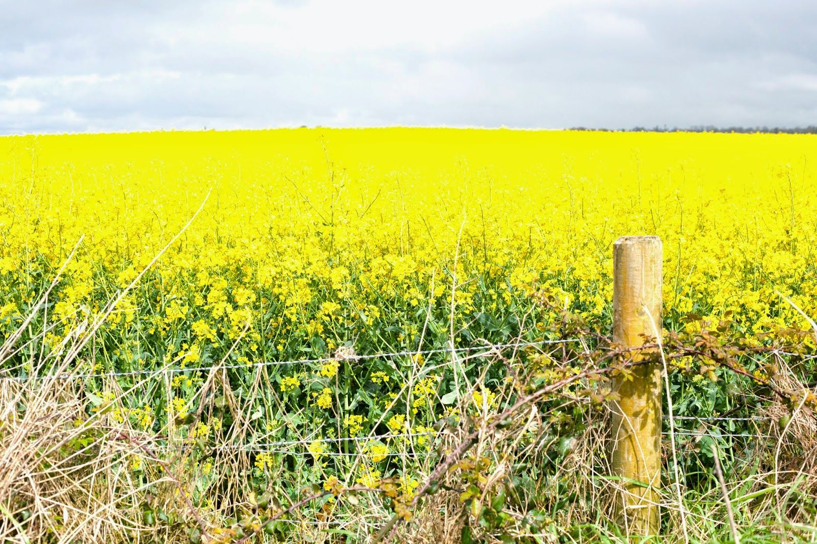 Fields Of Yellow Flowers Found Throughout Ireland In April The