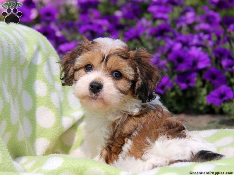 Abby Cavachon Puppy For Sale In Gordonville Pa Cavachon Puppies Cavachon Puppies
