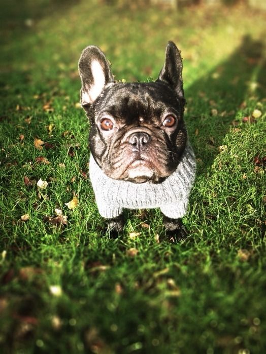 Chien French Bulldog Glasgow On Www Yummypets Com Dogs Pets