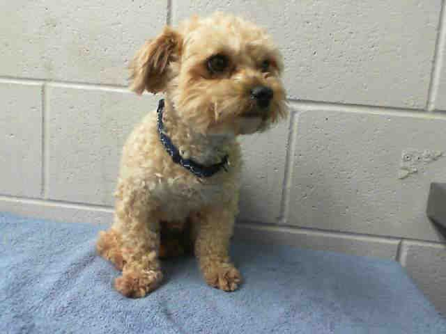 RED IDA479737 I am a male, tan Yorkshire Terrier mix